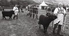 35a Calf and bullock, Otley Show, 16 May 2015 (I  Minox) Tags: film cow cattle bullock kodak tmax olympus bull tmax400 calf kodaktmax400 400asa otley 2015 agriculturalshow om4 tmy400 om4ti olympusom4ti olympusom4 otleyshow 16may2015