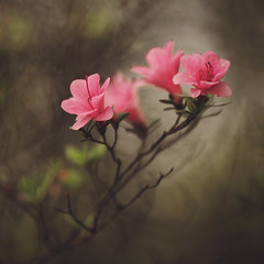 Painterly Azaleas (Tammy Schild) Tags: pink plant blur flower nature canon spring soft branch bokeh outdoor blossoms depthoffield dreamy azalea blooms 135l