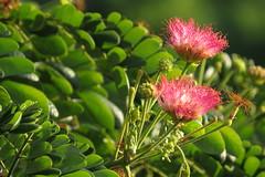 akasya (monkey pod) (DOLCEVITALUX) Tags: acacia akasya monkeypodfalsepowderpuff