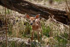 Newborn Whitetail Deer Fawn (Explored 5-21-16 Thanks!) (outdoorpict) Tags: baby cute nature sunshine ears deer spots fawn newborn grasses curious whitetail bleat