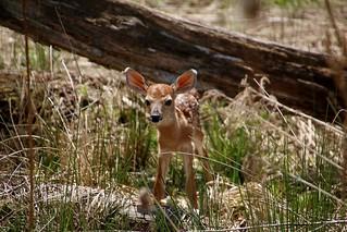 Newborn Whitetail Deer Fawn (Explored 5-21-16 Thanks!)