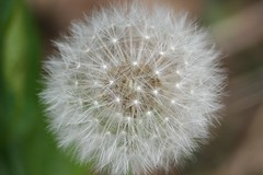 A Perfect Poof (eyriel) Tags: macro nature weed bokeh seed dandelion seeds