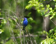 """(Explore) (george_gww) Tags: indigobunting passerinacyanea"