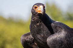 Verreaux's Eagle (Infomastern) Tags: bird denmark danmark skagen birdofprey fgel blackeagle rovfgel verreauxseagle aquilaverreauxii eagleworld rnreservatet klipprn eaglern