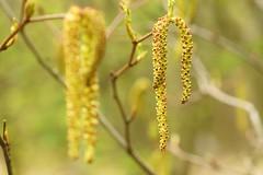 *** (pszcz9) Tags: nature closeup spring bokeh sony poland polska a77 wiosna przyroda beautifulearth zblienie