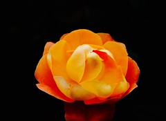 Black and orange (dayonkaede) Tags: orange black rose olympus f28 em1 m1240mm