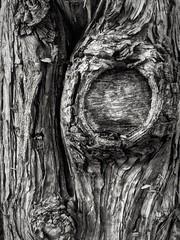 Something Knotty (absolutman) Tags: blackandwhite bw tree pine contrast bark knots iphoneography dramaticblackandwhiteapp iphone6splus