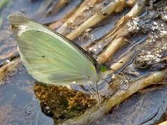 Leptophobia aripa elodia (carlos mancilla) Tags: insectos butterflies mariposas olympussp570uz leptophobiaaripaelodia