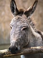 CF015952 (pit1061) Tags: animal urlaub donkey hasselblad h2 schwarzwald 32 bauernhof esel hof hc150 vitztiner