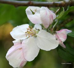 41-IMG_1143 (hemingwayfoto) Tags: rose flickr natur blte baum apfel blhen maserung bltenstempel
