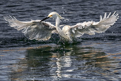 Making a splash (bodro) Tags: reflection birds wings wingspan snowyegret bolsachica splashing