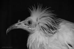 Schmutzgeier / egyptian vulture / Neophron percnopterus (AchimSchmidt) Tags: blackandwhite bw bird egyptian sw vulture schwarzweiss birdofprey vogel geier neophron percnopterus greifvogel schmutzgeier