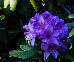 P1020020 (sebastiang2) Tags: park macro nature garden outdoor royal poland polska baths warsaw makro flover warszawa kwiaty flovers kwiat azienki krlewskie fz72