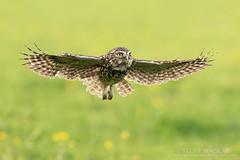 Little Owl in Flight (Steve Mackay) Tags: wild bird nature birds animal animals flying inflight wildlife flight littleowl stevemackay