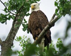 IMG_2644 (lbj.birds) Tags: bird nature eagle wildlife baldeagle kansas flinthills