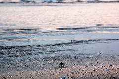 (cct079236) Tags: beach nature water animal outside rocks riverside taiwan crab scene tainan         fusk