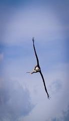 238 (George Morton) Tags: baldeagle whipsnadezoo americanbaldeagle birdsoftheworld zsl