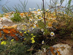 Wild flowers at Cape Kaliakra, Bulgaria (cod_gabriel) Tags: sea closeup seaside mare bulgaria litoral blacksea bulgarie bulgarije bulgarien dobrudja kaliakra bulgaristan bugarska  bugaria dobrogea dobroudja   capekaliakra bulgria theblacksea    dobruda mareaneagr dobruca dobruja  dobruda bulgarianseaside     dobrudzsa dobrugia dobroedzja dobrudzja  capulkaliakra  litoralulbulgar litoralulbulgresc bulgarianriviera   rivierablgara