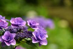 Hydrangea :  (naitokz) Tags: pink plant flower japan purple outdoor depthoffield hydrangea yokohama           americayamapark