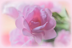 harmony (Fay2603) Tags: pink light white plant flower macro nature rose licht fuji blossom outdoor natur hell pflanze rosa delicious fein blume makro blte tender schrfentiefe pastell zart weis bltenblatt rose xt1 heiter