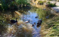 Keeping a Close Eye on the Family (Jocey K) Tags: newzealand christchurch lake reflections spring blackswan cygents traviswetlands blackswancygnet
