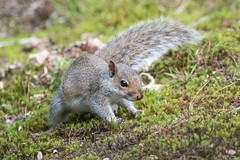 Squirrel (Shane Jones) Tags: animal mammal nikon squirrel wildlife d500 greysquirrel tc14eii 200400vr