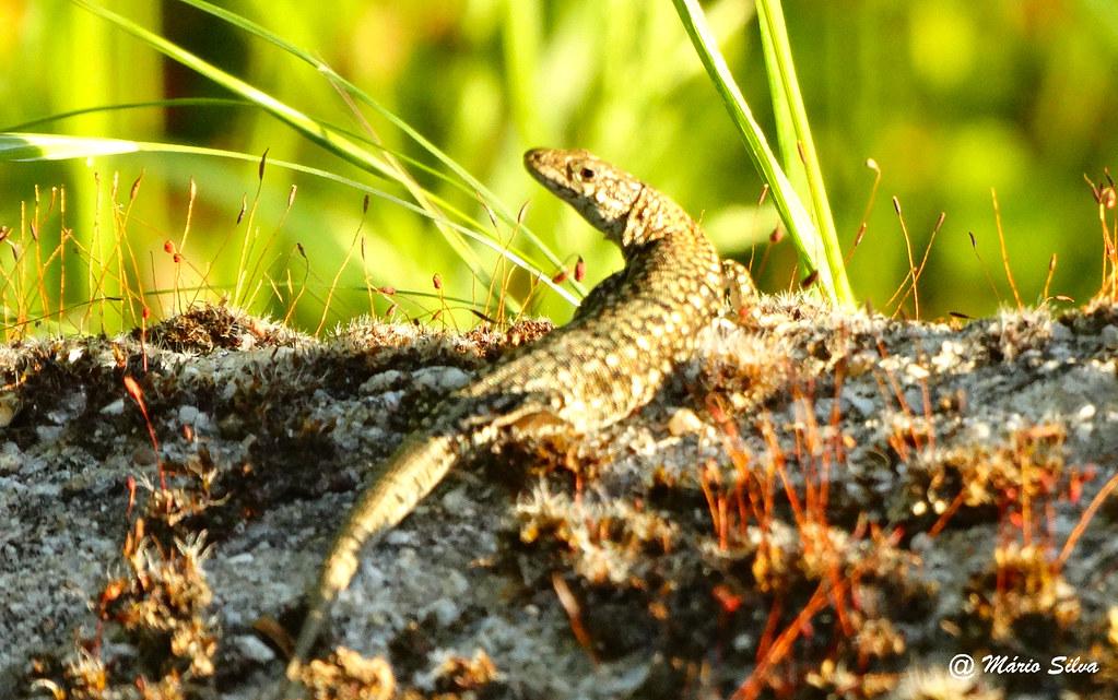 Águas Frias (Chaves) - ... lagartixa aproveitando o sol de verão ...