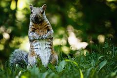 WALKING TALL (SHARKYRAY) Tags: cureuil squirrel mammifre mammal wildlife faune animal
