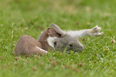 Stoat with Rabbit (Kentish Plumber) Tags: rabbit nature mammal wildlife naturereserve prey predator stoat kwt mustelaerminea boughbeech kentwildlifetrust
