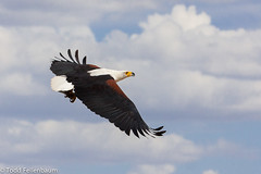 IMG_1951-African Fish Eagle (tfells) Tags: kenya africanfisheagle lakebaringo