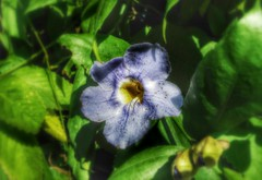 Levemente azul (Thiago Heinzen) Tags: blue flower nature beautiful amazing n hdr blueflower ufsc