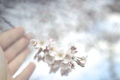 clark cherry blossoms (Angus Walters) Tags: cherry spring bokeh blossoms custom umass