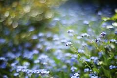 Stardust and Forgetmenot (けんたま/KENTAMA) Tags: blue flower bokeh forgetmenot stardust 勿忘草 天の川 忘れな草 eos6d planart1450 星屑