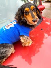 miniature dachshund dog clothing dog shirt (hiroshimaphotography) Tags: dachshund dachs teckel jamnik taks bassotto dogclothing dogshirt myrkoira  gravhund jezevk  melhundo t jazvek  jazaviar      brochgi brocch   j jpscownik