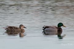 A Mallard Drake and hen out for a swim.