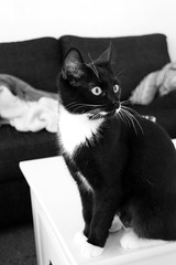 Kitten (alindinlarsson) Tags: bw white cute eye cat table nose back spring eyes kitten sweden ears sofa ear soffa sverige paws kattunge nos bord katt vr vitt st ga vit bergslagen soffbord ron gon ra tassar svar
