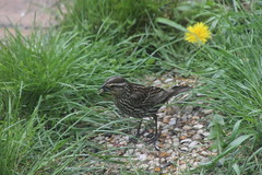 "Red-Winged Blackbird (Female) in the Backyard (Saline, Michigan) (cseeman) Tags: birds backyard michigan birdfeeder saline blackbird redwinged redwingedblackbird ""female blackbird"""