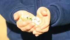 Some flowers for you (Ciloé) Tags: flowers blue boy white fleurs kid hands sweet bleu gift jersey daisy enfant mains blanc channelislands garçon mathis bellisperennis présent pâquerettes
