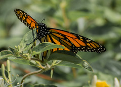 The Monarch (Danaus Plexippus) (Jose Matutina) Tags: california nature butterfly insect wings wildlife monarch orangecounty irvine sanjoaquin