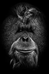 Orangutan (Pimpame) Tags: travel wild white black tree portugal beautiful beauty animal animals forest canon mammal eos zoo monkey europe lisboa lisbon wildlife capital nb orangutan ape tamron primate lisbonne orangoutan 600d 7033