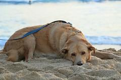 06012015_011_ (ALOHA de HAWAII) Tags: hawaii oahu bigdog waikikisunset