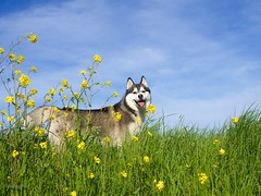 Happy Husky (Pinksterbos) Tags: summer dog pet flower happy husky siberian