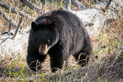 Black Bear (moore.sterling) Tags: yellowstonenationalpark blackbear yellowstonewildlife sterlingmoore moorethanwildphotography