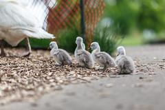 Returning to the Nest (dshoning) Tags: fence walk group swans babie cygnets fencefriday
