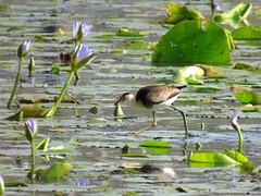 Irediparra gallinacea 7 (barryaceae) Tags: new birds wales south australia wetlands australianbirds cattai ausbird ausbirds