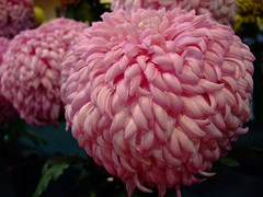 Chrysanthemum (yewchan) Tags: flowers flower nature colors beautiful beauty closeup garden flora colours gardening vibrant blossoms blooms lovely chrysanthemum chrysanthemums