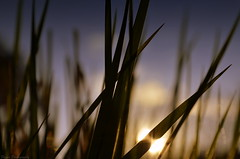 Songs of the Crickets at days end (Captions by Nica... (Fieger Photography)) Tags: sunset sky sun sunlight canada nature grass weather quebec outdoor dusk sunrays sunbeam
