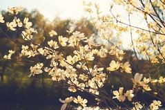 Spring Radiance (Melissa Gracias) Tags: flowers trees sunset love nature newjersey nj shore jerseyshore goldenhour treeflowers bloomingflowers njliving njshots