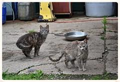 Little Kitties (timmerschester) Tags: cats michigan tabby gray kitties felines junkyard striped