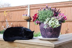 Sleeping Sweetly (haberlea) Tags: flowers pet nature animal cat blackcat garden bench pot mygarden